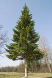 δέντρο έλατου Στοκ Φωτογραφία