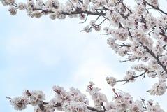 Δέντρο δέντρων ανθών arpicot vraches με τα άσπρα λουλούδια Στοκ εικόνες με δικαίωμα ελεύθερης χρήσης