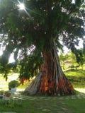 Δέντρο, ήλιος, εικασία, κορδέλλα, κίτρινος, κόκκινος, πράσινη, Βιετνάμ, ρίζες, εγκαταστάσεις, κήπος, τροπικοί κύκλοι, εξωτικοί, φ στοκ φωτογραφία