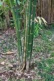 Δέντρο ή Bambusa μπαμπού πολλαπλό & x28 Lour & x29  Στοκ Φωτογραφία