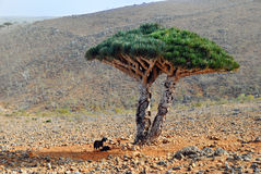 Δέντρο αίματος δράκων στοκ φωτογραφία