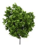 Δέντρο αβοκάντο που απομονώνεται στο λευκό ελεύθερη απεικόνιση δικαιώματος