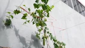 Δέντρο αγγουριών του Βιετνάμ στον κήπο απόθεμα βίντεο