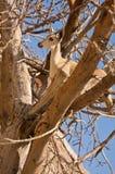 δέντρο αγριοκάτσικων Στοκ Εικόνες