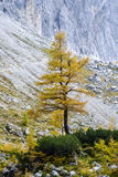 Δέντρο αγριόπευκων στοκ φωτογραφία