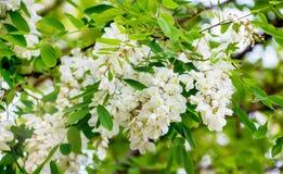 Δέντρο ακακιών κατά τη διάρκεια του ανθίσματος Άσπρα λουλούδια acacia_ στοκ εικόνες