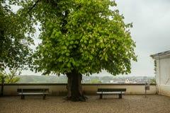 Δέντρο ακακιών Στοκ Φωτογραφία