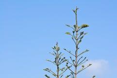 δέντρο ακρών πεύκων κλάδων Στοκ Εικόνες