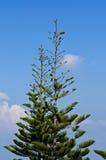 δέντρο ακρών πεύκων κλάδων Στοκ φωτογραφίες με δικαίωμα ελεύθερης χρήσης
