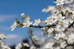 Δέντρο δαμάσκηνων με τα άσπρα άνθη ανοίξεων Στοκ Εικόνες