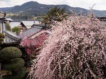 Δέντρο δαμάσκηνων που ανθίζει στον παραδοσιακό ιαπωνικό κήπο Στοκ φωτογραφίες με δικαίωμα ελεύθερης χρήσης