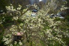 Δέντρο δαμάσκηνων στην άνθιση Στοκ εικόνες με δικαίωμα ελεύθερης χρήσης