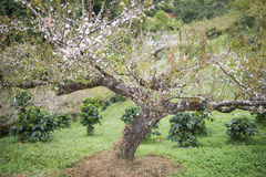 Δέντρο δαμάσκηνων στον κήπο Στοκ εικόνα με δικαίωμα ελεύθερης χρήσης