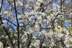 Δέντρο δαμάσκηνων στο άνθος άνοιξης με τα άσπρα λουλούδια Στοκ Φωτογραφία