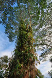 Δέντρο αναρριχητικών φυτών στον τροπικό botalnical κήπο της Χαβάης Στοκ εικόνες με δικαίωμα ελεύθερης χρήσης