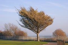 δέντρο ανεμοδαρμένο Στοκ Φωτογραφίες
