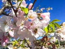 Δέντρο ανθών και μέλισσα εργασίας στοκ εικόνες