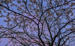 Δέντρο ανθών κατά τη διάρκεια του ηλιοβασιλέματος με τονισμένους το ροδανιλίνη ουρανό και τα σύννεφα στοκ εικόνα με δικαίωμα ελεύθερης χρήσης