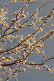 Δέντρο ανθών κερασιών άνοιξη μια ηλιόλουστη ημέρα με ένα φίλτρο σεπιών Στοκ εικόνα με δικαίωμα ελεύθερης χρήσης