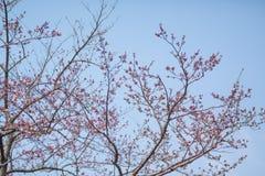 Δέντρο ανθών κερασιών στοκ εικόνα με δικαίωμα ελεύθερης χρήσης