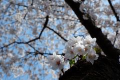 Δέντρο ανθών κερασιών σε Jinhae-jinhae-gu, Busan, Νότια Κορέα στοκ φωτογραφία με δικαίωμα ελεύθερης χρήσης