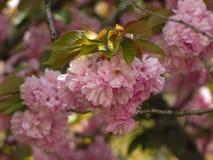 Δέντρο ανθών κερασιών στον ήλιο στοκ εικόνα