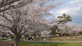 Δέντρο ανθών κερασιών της Ιαπωνίας Στοκ Εικόνες