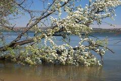 Δέντρο ανθών κερασιών Στοκ εικόνες με δικαίωμα ελεύθερης χρήσης
