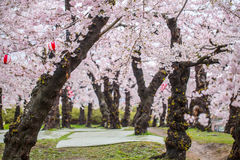 Δέντρο ανθών κερασιών Στοκ φωτογραφία με δικαίωμα ελεύθερης χρήσης