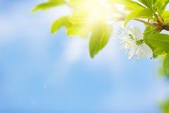 Δέντρο ανθών της Apple μπροστά από το μπλε ουρανό Στοκ Εικόνα