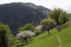 Δέντρο ανθών της Apple στα αγροτικά βουνά της Ρουμανίας Στοκ Φωτογραφία