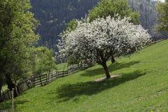 Δέντρο ανθών της Apple στα βουνά Στοκ φωτογραφίες με δικαίωμα ελεύθερης χρήσης