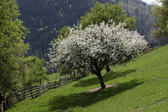 Δέντρο ανθών της Apple στα βουνά Στοκ Εικόνες