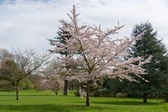 Δέντρο ανθών της Apple στην άνθιση στοκ εικόνα