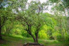 Δέντρο ανθών της Apple στο πάρκο Στοκ Εικόνες