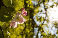 Δέντρο ανθών της Apple Στοκ Φωτογραφίες