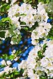 Δέντρο ανθών της Apple Στοκ Φωτογραφία