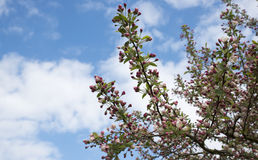Δέντρο ανθών της Apple Στοκ φωτογραφία με δικαίωμα ελεύθερης χρήσης