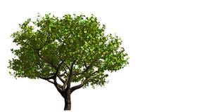 Δέντρο Από την άνοιξη στο φθινόπωρο ελεύθερη απεικόνιση δικαιώματος