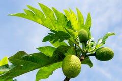 Δέντρο αρτόκαρπων με τα φρούτα Στοκ φωτογραφία με δικαίωμα ελεύθερης χρήσης