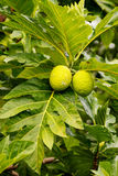 Δέντρο αρτόκαρπων με τα φρούτα Στοκ Εικόνα