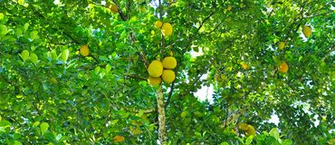 Δέντρο αρτόκαρπων με τα ώριμα φρούτα Ευρεία φωτογραφία Στοκ εικόνα με δικαίωμα ελεύθερης χρήσης