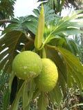 Δέντρο 2 αρτόκαρπων στοκ φωτογραφίες