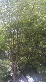Δέντρο ασβέστη φύσης Στοκ Φωτογραφία