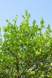 Δέντρο ασβέστη Στοκ εικόνα με δικαίωμα ελεύθερης χρήσης