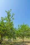 Δέντρο ασβέστη Στοκ εικόνες με δικαίωμα ελεύθερης χρήσης