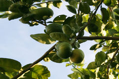 Δέντρο ασβέστη Στοκ Φωτογραφίες