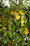 δέντρο αστεριών karambola καρπού Στοκ Εικόνες