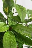 Δέντρο δαφνών Στοκ εικόνες με δικαίωμα ελεύθερης χρήσης