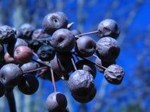 δέντρο αχλαδιών του Μπράντφορντ μούρων στοκ εικόνες